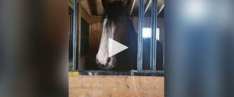 Devastated horse owner pleads for return of Molly, missing Clydesdale