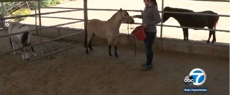 ABC 7 News - Rumble the mini horse found safe after stolen in Riverside County