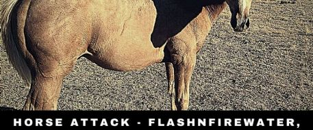 HORSE ATTACK - Flashnfirewater, a Palomino colt, shot in WY