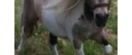 Miniature horse is still missing near town of Sulphur Springs