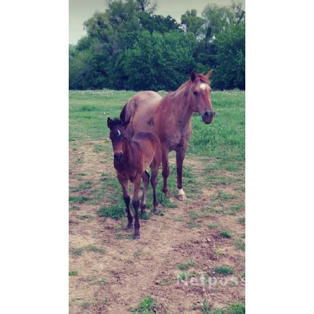 RECOVERED Horse - Red Roan mare & Bay Roan Colt