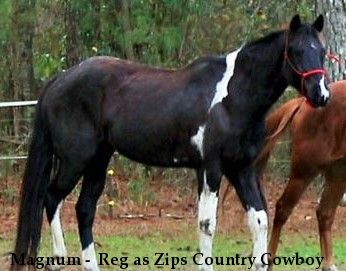 Magnum -  Reg as Zips Country Cowboy