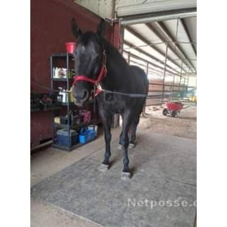 MISSING Horse - Louisiana Lexus (Lewis)  - REWARD