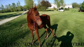 STOLEN EQUINE Dodge, RECOVERED 9/15/2017 Near Richmond, MO, 64085