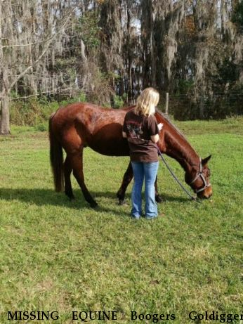 MISSING EQUINE Boogers Goldigger,  Near Clermont , FL, 34714