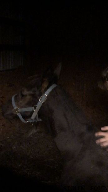 MISSING POSSIBLY STOLEN EQUINE Soliel, FOUND DECEASED   Near Jamesville, NC, 27846