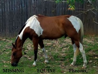 MISSING EQUINE Pheonix,+ REWARD LOCATED SAFE Near Conroe, , 77304