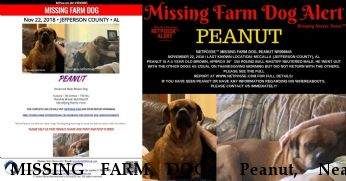 MISSING FARM DOG  Peanut,  Near McCalla , AL, 35111